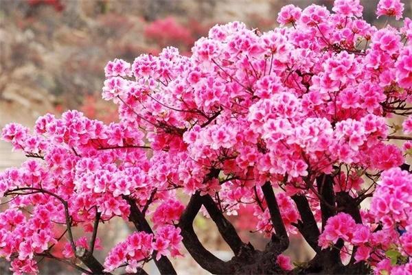 春节去平江石牛寨过大年!赏花、看戏、登山祈福…家门口玩得嗨!