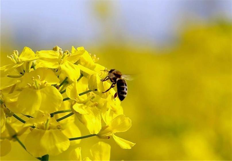 """春照万物,生机降临,共赏石牛寨""""金色花海"""""""