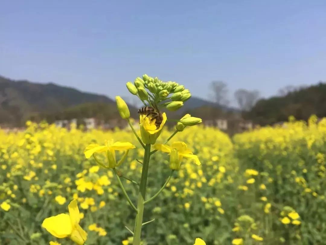 岳阳平江油菜花,春游踏青最佳好去处